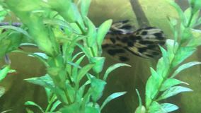 Spotted gar swimming in water stock video