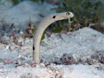 Spotted garden-eel. In Bohol sea, Phlippines Islands Stock Photography