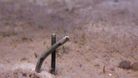 Spotted garden eel feeding, stock footage