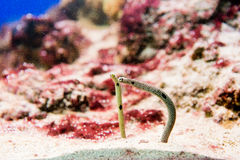 Spotted Garden Eels - Heteroconger hassi Royalty Free Stock Photos