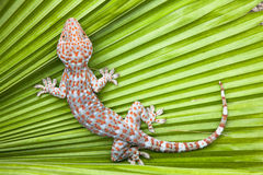 Spotted gecko on a green leaf palm. Tropical stock image