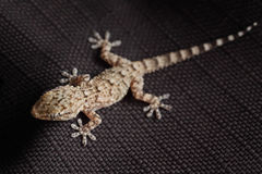 Spotted gecko reptile on black fabric. Brown spotted gecko reptile on black fabric, front view stock photo