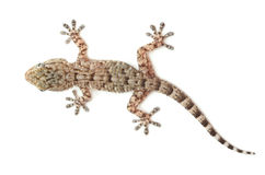 Spotted gecko reptile isolated on white. Brown spotted gecko reptile isolated on white, view from above royalty free stock photo