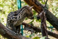 Spotted genetta on a branch Royalty Free Stock Images