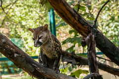 Spotted genetta on a branch Royalty Free Stock Photos