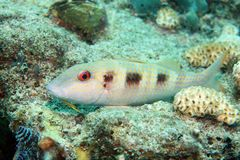 Spotted goatfish Royalty Free Stock Photos