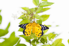The spotted golden-looper moth. With flower Stock Photo