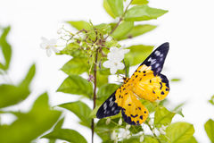 The spotted golden-looper moth. With flower Stock Photography