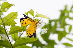 The spotted golden-looper moth. With flower Stock Images