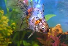 Spotted goldfish in aquarium. Royalty Free Stock Images