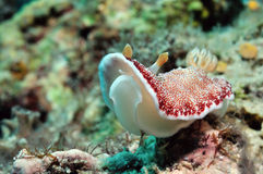 Spotted goniobranchus Royalty Free Stock Photography