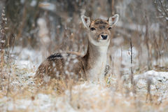 Spotted Graceful Doe, Looking At You. Fallow Deer & x28;Dama Dama& x29; In Stock Image