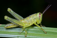 A spotted grasshopper on a blade of grass Royalty Free Stock Photos
