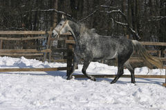Spotted gray galloping wintertime in winter corral Royalty Free Stock Photography