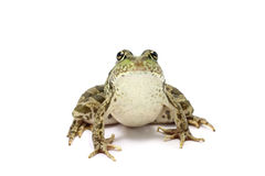 Spotted green frog Stock Images