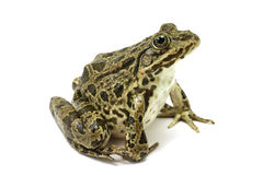 Spotted green frog. On white background Stock Images