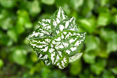 Spotted green shade caladium Royalty Free Stock Photo