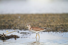 Spotted greenshank Royalty Free Stock Image