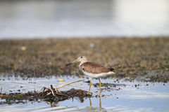 Spotted greenshank Royalty Free Stock Photos