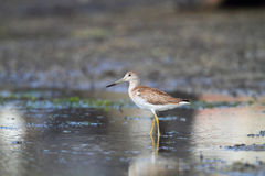 Spotted greenshank Stock Photo
