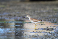 Spotted greenshank Royalty Free Stock Photography