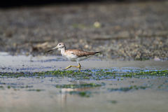 Spotted greenshank Stock Photos