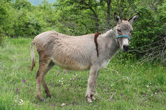 Spotted grey donkey Royalty Free Stock Images