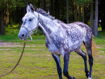 Spotted grey horse running Royalty Free Stock Photos