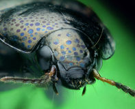Spotted ground beetle close-up Royalty Free Stock Photography