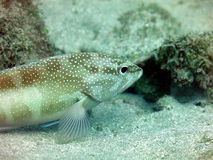 Spotted Grouper Royalty Free Stock Photography