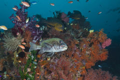 Spotted Grouper on Vibrant Coral Reef Stock Photos