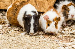 Spotted guinea pigs Stock Photos