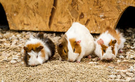 Spotted guinea pigs Royalty Free Stock Photos