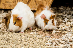 Spotted guinea pigs Stock Photo