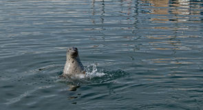 Spotted Harbor Seal Surfaces Royalty Free Stock Photography