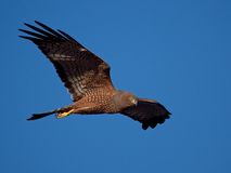 Spotted Harrier 02 Royalty Free Stock Photos