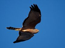 Spotted Harrier 01 Royalty Free Stock Images