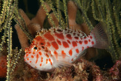 Spotted hawkfish Royalty Free Stock Image
