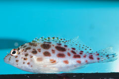 Spotted Hawkfish in Aquarium Stock Images