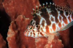 Spotted hawkfish Stock Photo