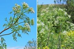 Spotted Hemlock (Conium maculatum) - biennial herbaceous plant s Stock Photos