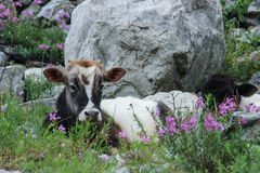A spotted horned cow lies on a meadow surrounded by purple flowers royalty free stock image