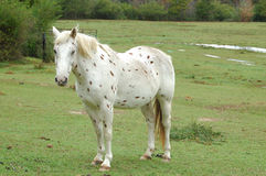 Spotted Horse. White spotted horse apaloosa line Stock Images