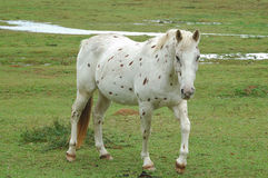 Spotted horse. Spotted apaloosa walking in field stock photo