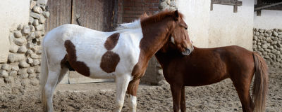 Spotted horse Stock Photo