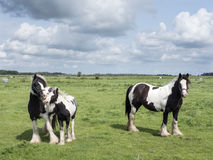 Spotted horse family in green grassy meadow in the netherlands Royalty Free Stock Images