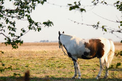 spotted horse in the field Stock Photos