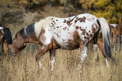Spotted horse and herd. In the pasture in the mountain Royalty Free Stock Photo