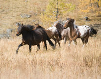Spotted horse and herd. In the pasture in the mountain royalty free stock images