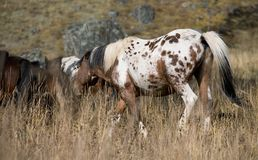 Spotted horse and herd Stock Image